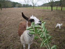 """Guard Llama """"Gerty"""""""