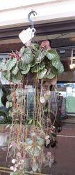 Hanging Saxifrage