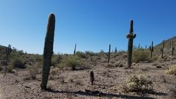 Saguaros at CG Mtn