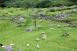 Sheep on Ring of Kerry