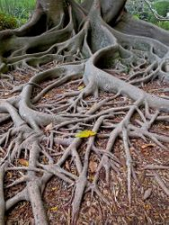 Tree Roots by Terry Sposito (AC)