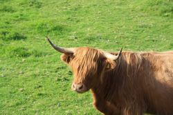 Highland Cow, Island of Mull