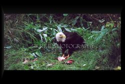 Bald Eagle eating