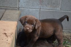 The only chocolate male in the 2015 litter