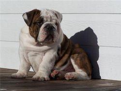 Chiot Senior / Puppy Senoir a 5 mois...Rolex