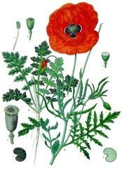 Common poppy Illustration