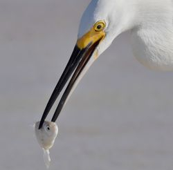 Snowy Egret and fish2
