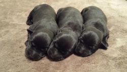 The Black Puppies, 3 Days Old