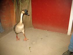 Goose on the loose!