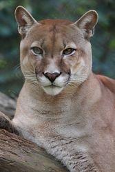 Onca parda - Sucuarana - Puma ( Puma concolor )