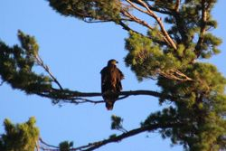 Immature bald eagle on Larder Lake