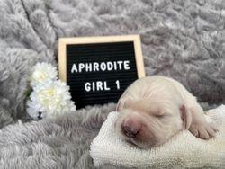 Aphrodite - Female - Red Collar
