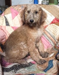 Bobbie:  $1195, male Airedoodle, born on 4-21-17, pics on 5-24-17, Mother is a Giant Airedale, father is a Royal Standard Poodle