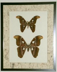 Atlas Moth Pair