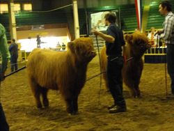LEA Haven in the March Heifer calf Class