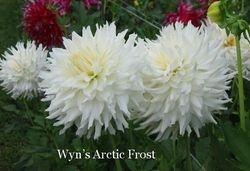 Wyn's Arctic Frost B C W