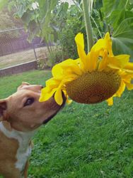 Macy & the Sunflower