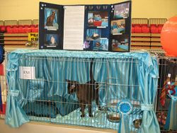 on exhibition at the Tonkinese Breed Club Show 2011