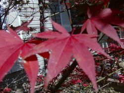 Our Japanese Maple