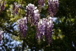 WISTERIA sinensis 'Blou reën'