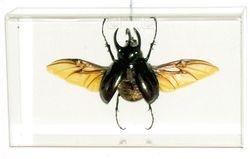 3 Horned Rhino Beetle in Acrylic Frame