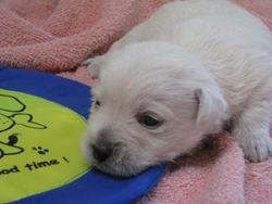 Boy Westie born 6/9/11