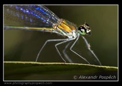 Damselfly, Lowland rainforest