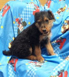GWEN: $795 companion, AKC Airedale Terrier, Giant/Oorang, born 3-5-17 to Gigi and Buddy, 2 year health guarantee, vet puppy check, lifetime microchip, current vaccinations, home raised, more