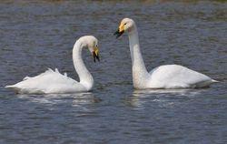 Cygnes chanteurs - Swans