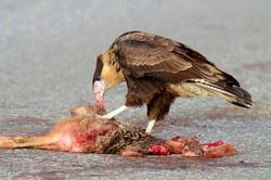 Caracara feeding.