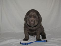 "4 Weeks Old - Blue Collar Male ""Gord"""
