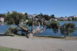Lake Merritt Tree, Oakland