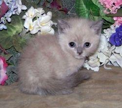 Marianne's little Blue Mink shorthair girl from Mom Uki