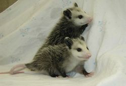 Young Virginia Opossums