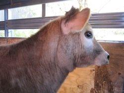 Perky cows