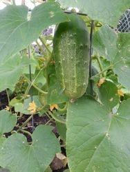Cucumber Pickling