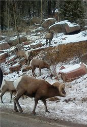 Big Horn Sheep colorado
