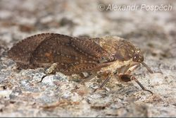 Cicada, Wanang