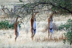 Gerenuks -Samburu Game Reserve
