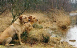 typical silronrays dark yellows, foxred girls