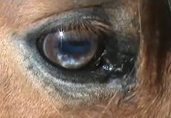 Honcho has a Partial Blue Eye