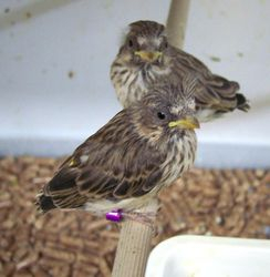 2 Black-throated Canary chicks at 19 days old