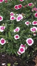Dianthus, aka: Pinks
