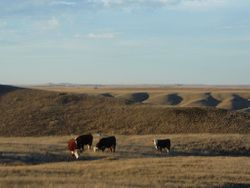 Long yearling bulls, fall pasture 2010
