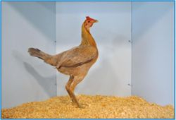 Champion Large Modern in Show, Champion Large Hen.
