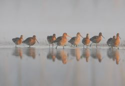 Barges au petit matin - Godwits in the early morning light