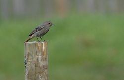 Black Redstart (Rougequeue noir)