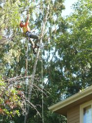 Uprooted alder hazard removal over house