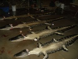 4 nice Gators