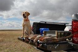 Pheasant hunting - Bode at 7 months